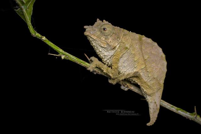 Boulenger's pygmy chameleon Rhampholeon boulengeri