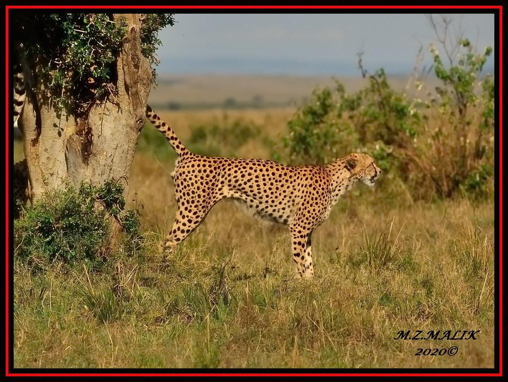 CHEETAH ( Acinoyx jubatus) SCENT MARKING.......MASAI MARA.....OCT 2020.