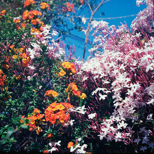 Sticky monkeyflower and jasmine in bloom (Berkeley, Calif.)
