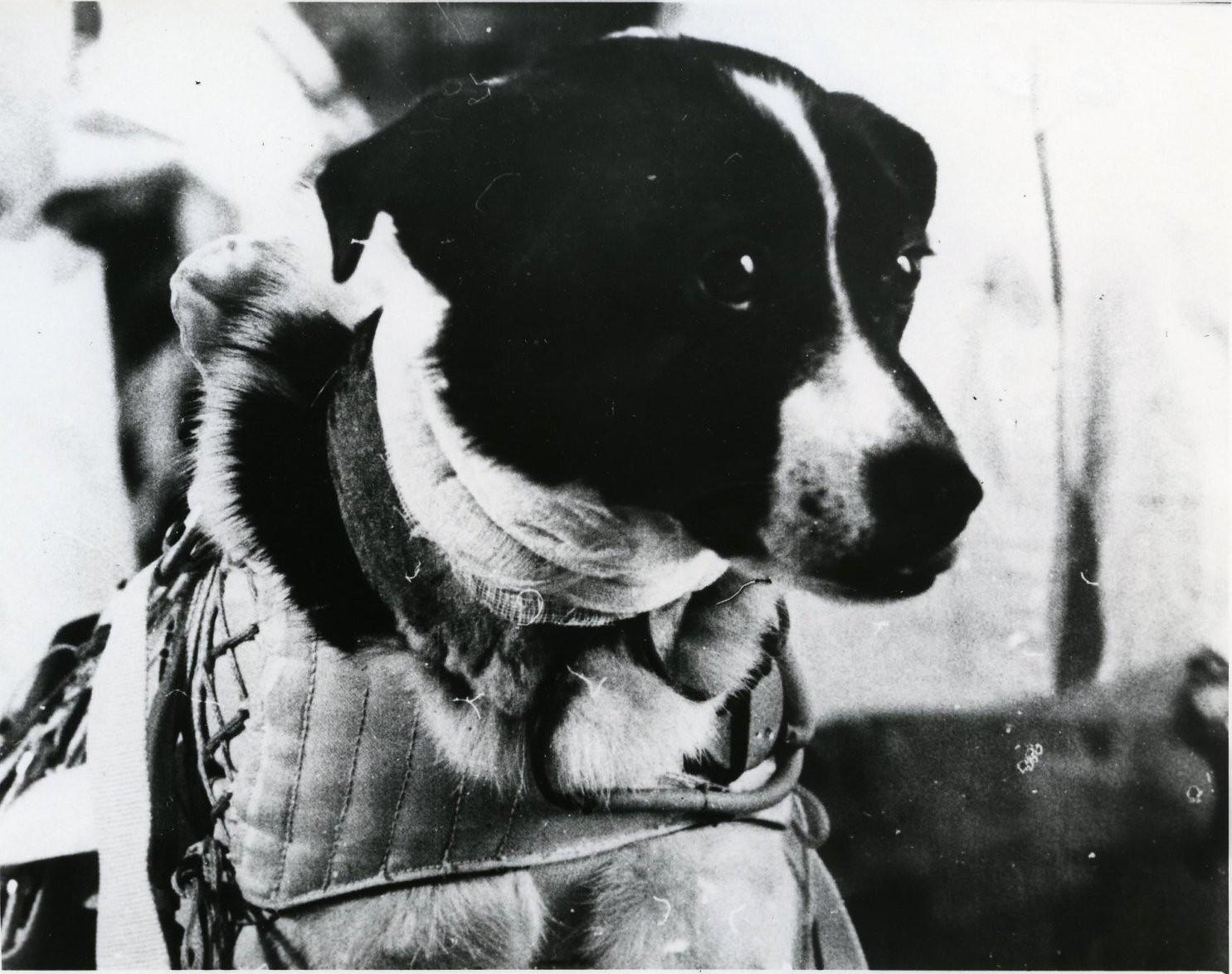 1966. Собака Ветерок после приземления