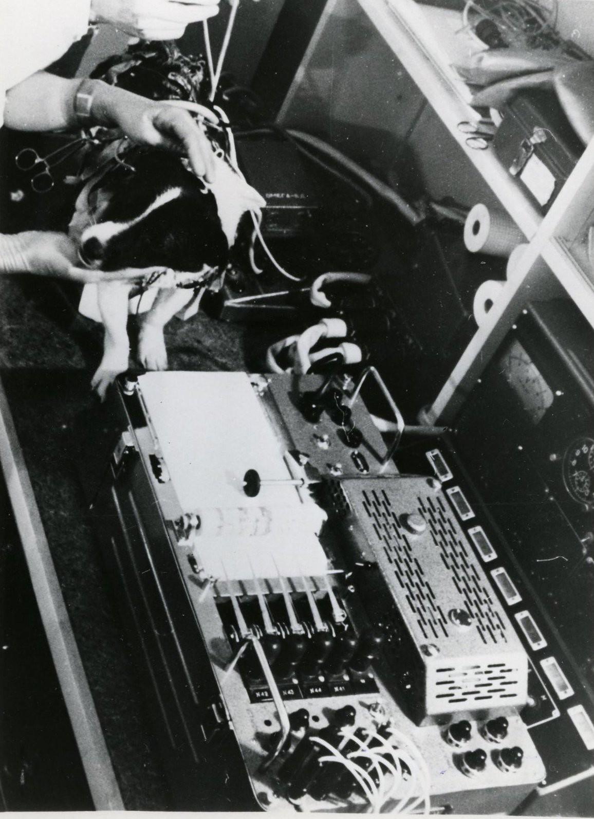 1966. Послеполетное обследование собаки Ветерок