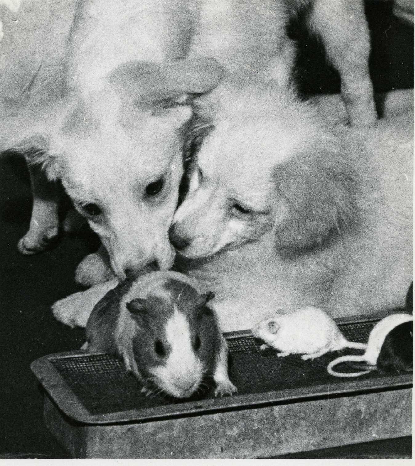 1961. Пресс-конференция о некоторых результатах исследований, проведённых на советских космических кораблях. Щенки собаки Стрелки