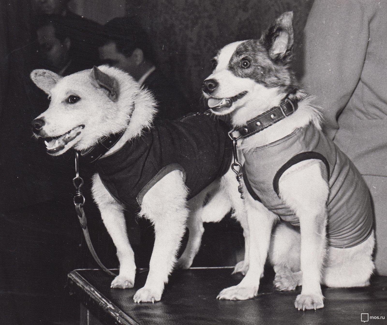 1960. Собаки-космонавты Белка и Стрелка после полёта. 22.08.