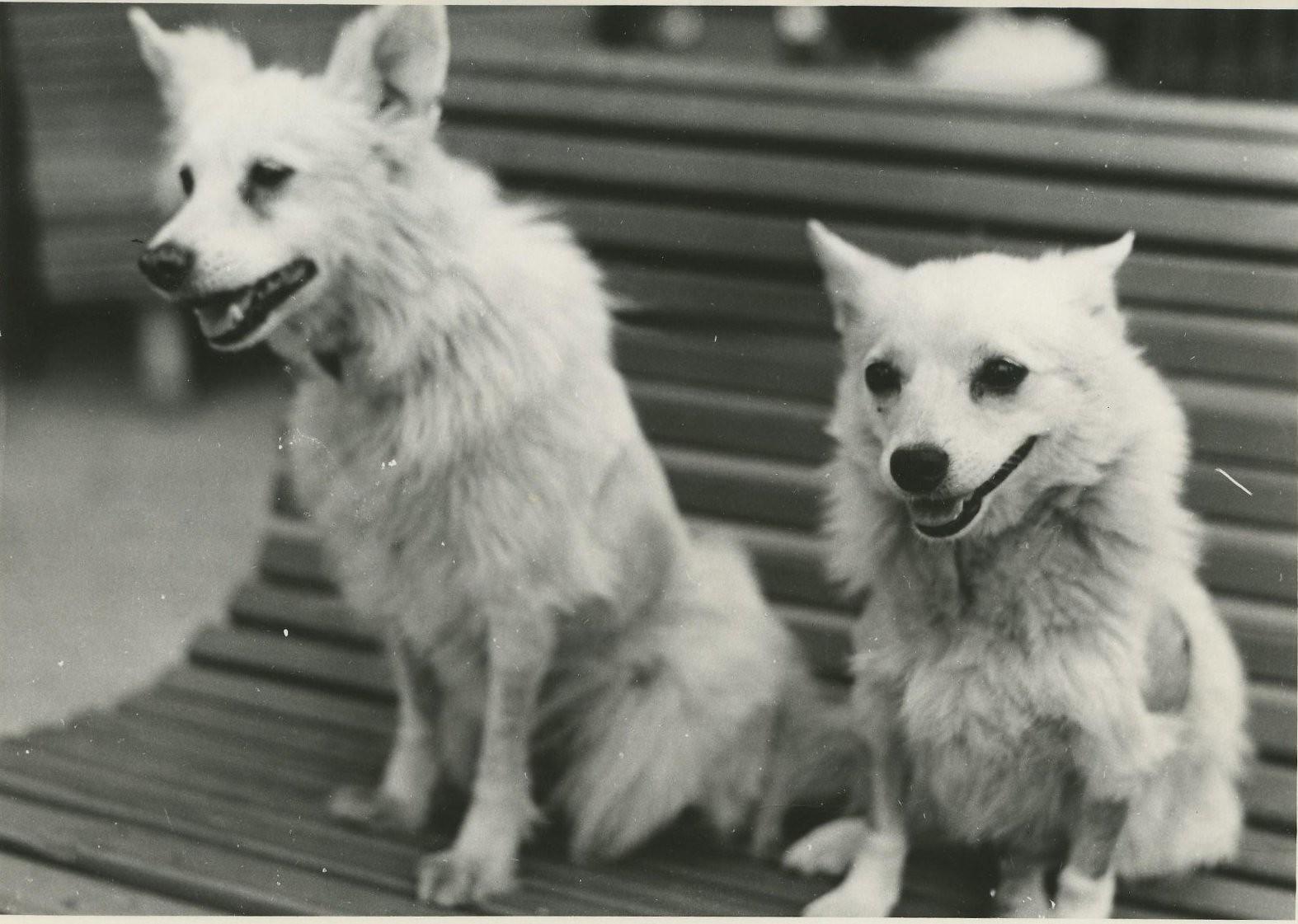 1959. Подопытные собаки Отважная и Жемчужная, поднимавшиеся 10 июляв геофизической баллистической ракете в верхние слои атмосферы