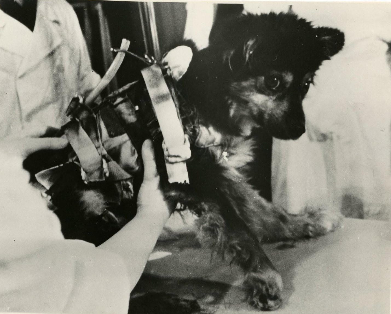 1966. Собака Уголек после приземления