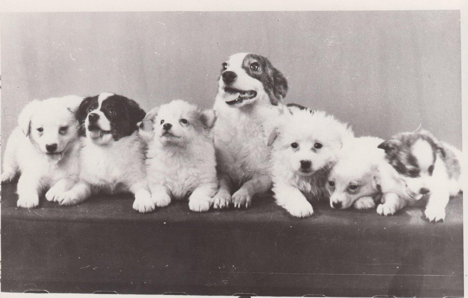 1961. Собака Стрелка со своим потомством