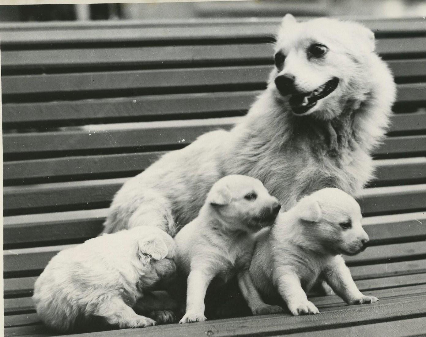 1959. Собака Жемчужная со своим потомством после возвращения из полета в верхние слои атмосферы
