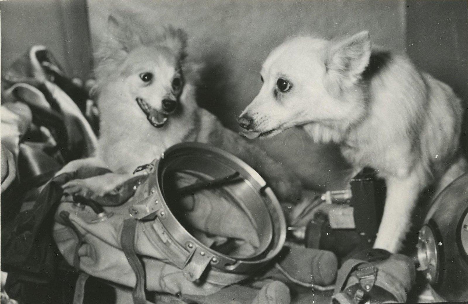 1959. Разведчики космоса. Ветераны космических полетов собаки Козявка и Отважная