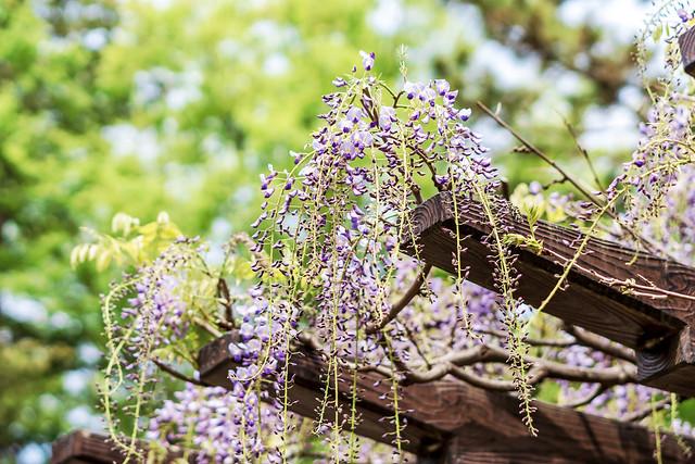 Wisteria flowers : 藤の花