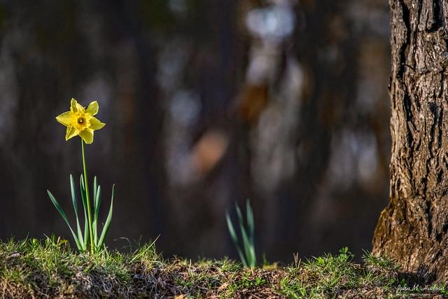 2021.03.30.0447.D850 One Lone Daffodil