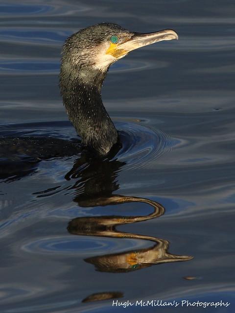 Cormorant, Erskine, Scotland.