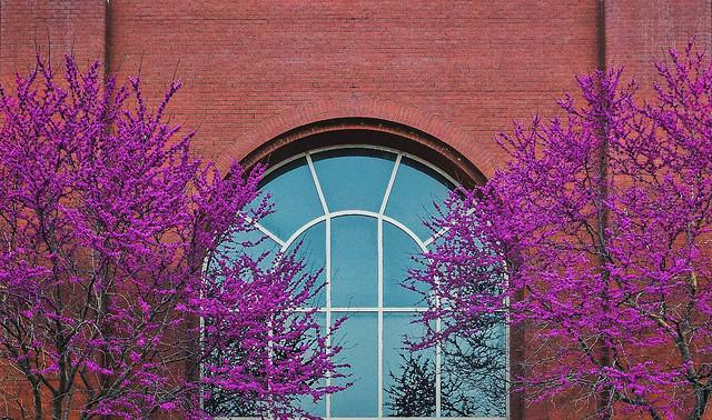 redbud window