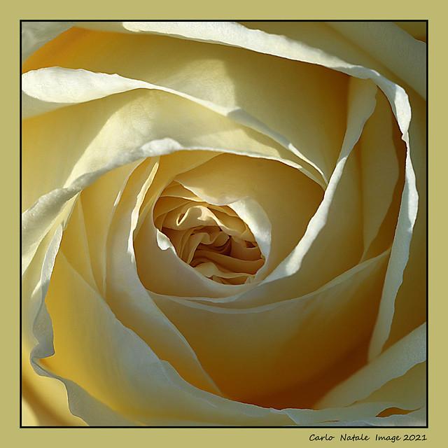 Roll yellow rose