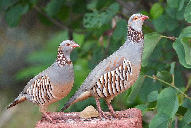 Barbary Partridge, Tenerife