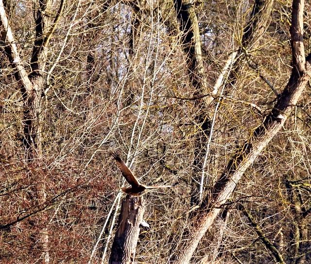 Revier Blankenfelde Frühling 2021 Rohrweihe