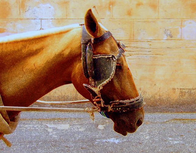 The Cuban Horse