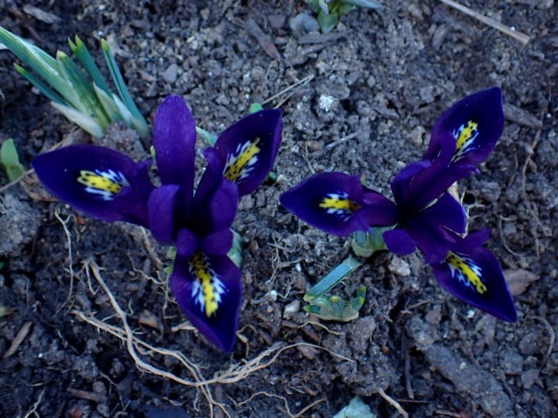 Iris reticulata - Page 7 51104687616_0814f1b92a_c