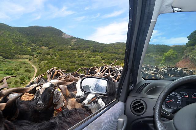Goats on Tenerife