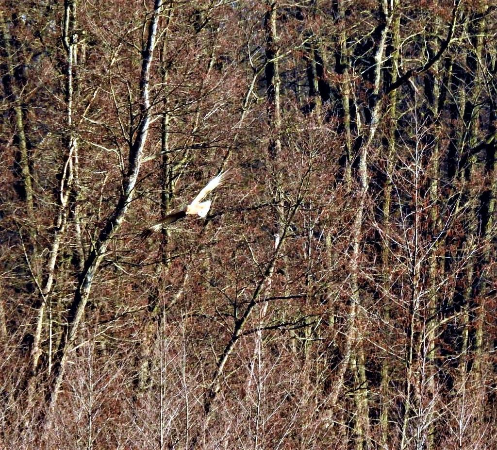 Revier Blankenfelde Frühling 2021 Rohrweihe Bogenseekette
