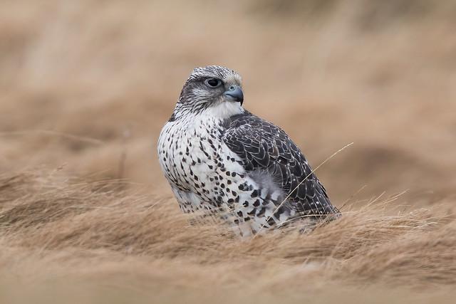 Gyr Falcon / Fálki (Falco rusticolus)