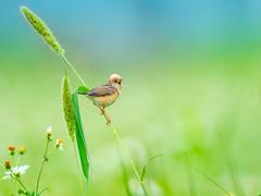 黃頭扇尾鶯