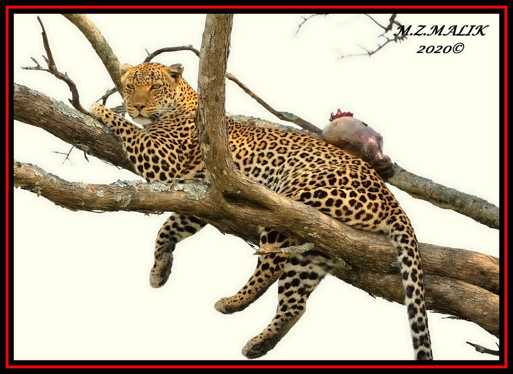 FEMALE LEOPARD (Panthera pardus) ...MASAI MARA.....OCT 2020.