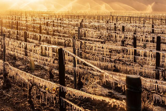 Des moments difficiles pour les viticulteurs
