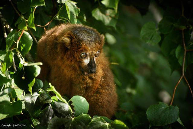 Brown Lemur [Explored]