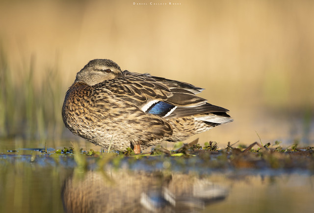 A female mallard waking up with the stunning golden light.