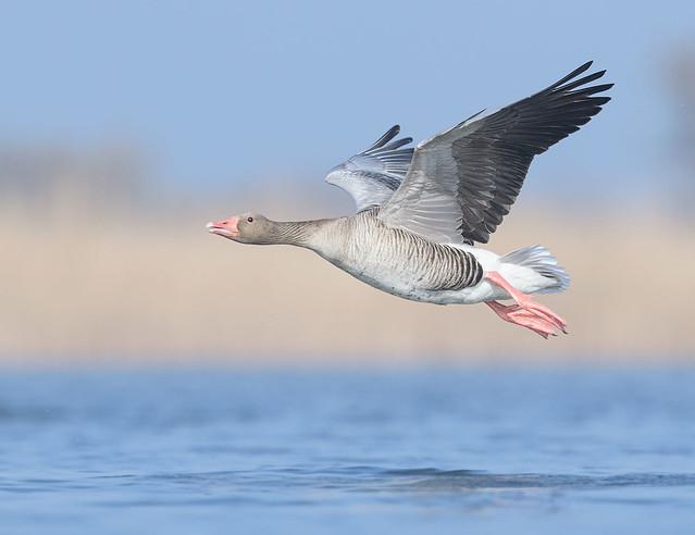Greylag Goose, Grauwe Gans