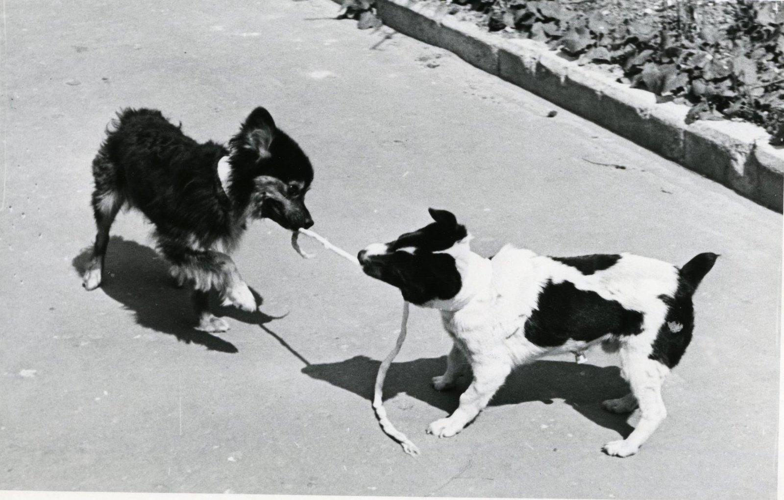 1966. Собаки Уголек и Ветерок на прогулке. 21.05.