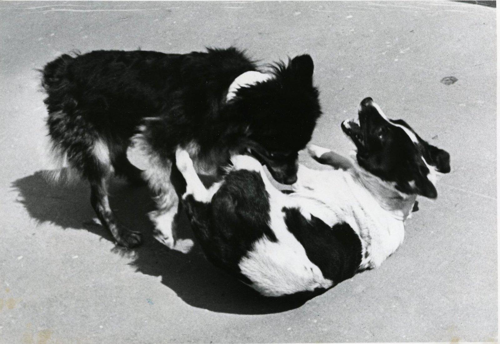 1966. Собаки Ветерок и Уголек на Земле. Веселая игра