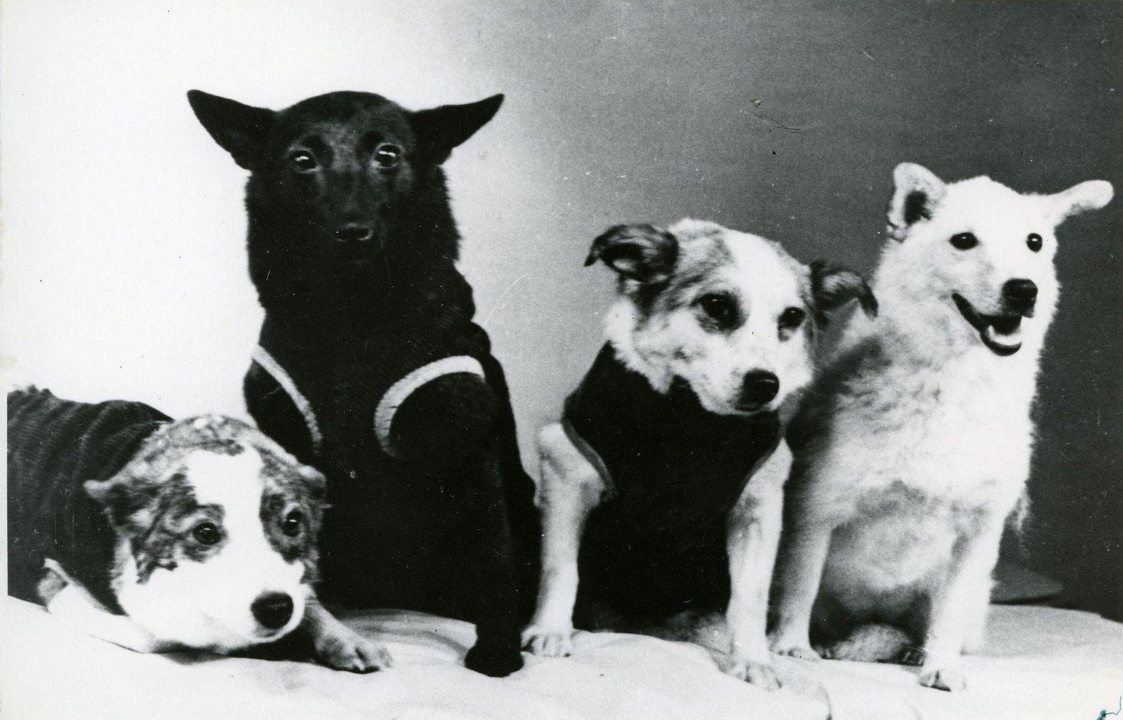 1961. Собаки Стрелка, Чернушка, Звездочка, Белка. 28.03