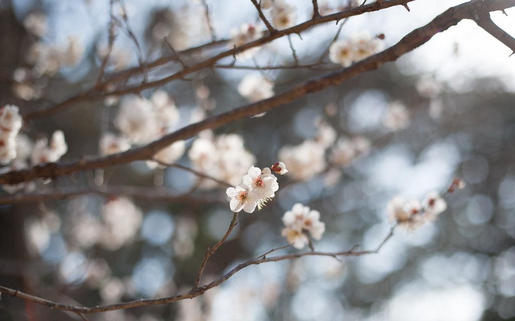[鎌倉通信] 白梅