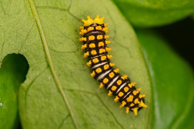 Lebeaus Silkmoth (Rothschildia lebeau) young larva