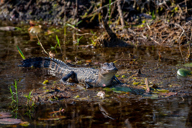 Young American Alligator