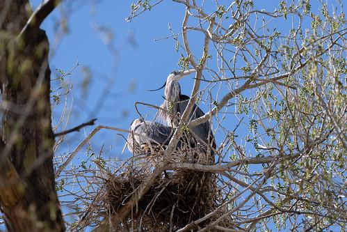 nesting_blue_heron-20210408-104
