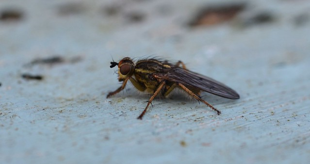 a dung fly having a picnic