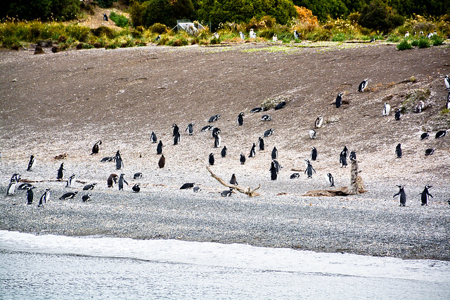 Pingüinos en Isla Martillo. Ushuaia, Argentina.