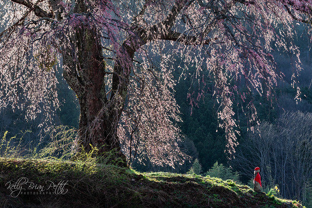 Early morning sun hits Cherry Tree