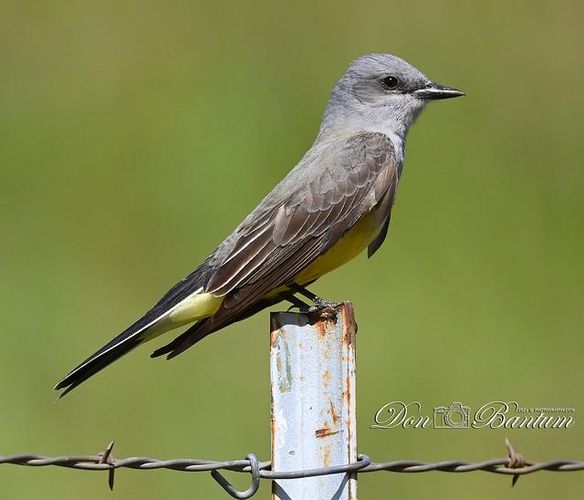 Western-Kingbird_02