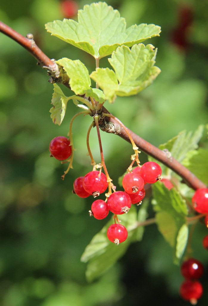 Red Currants in Sweden