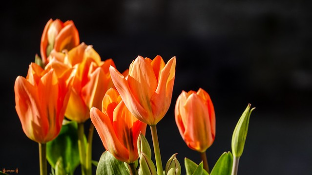 9606 - Tulipes
