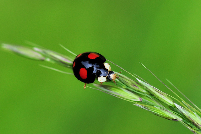 Black Ladybug with red dots (Harmonia Axyridis)