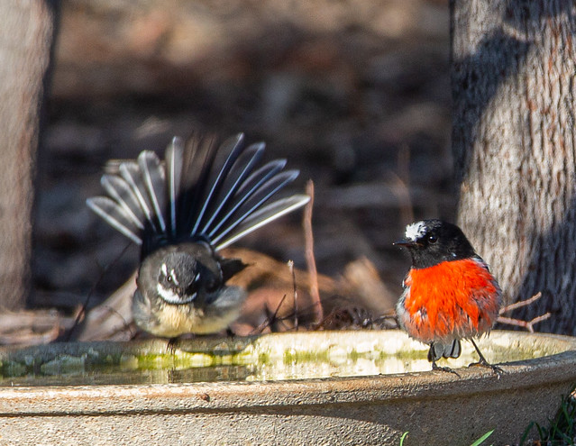 Scarlet Robin and grey fantail