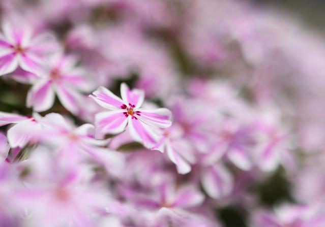 Moss phlox :芝桜