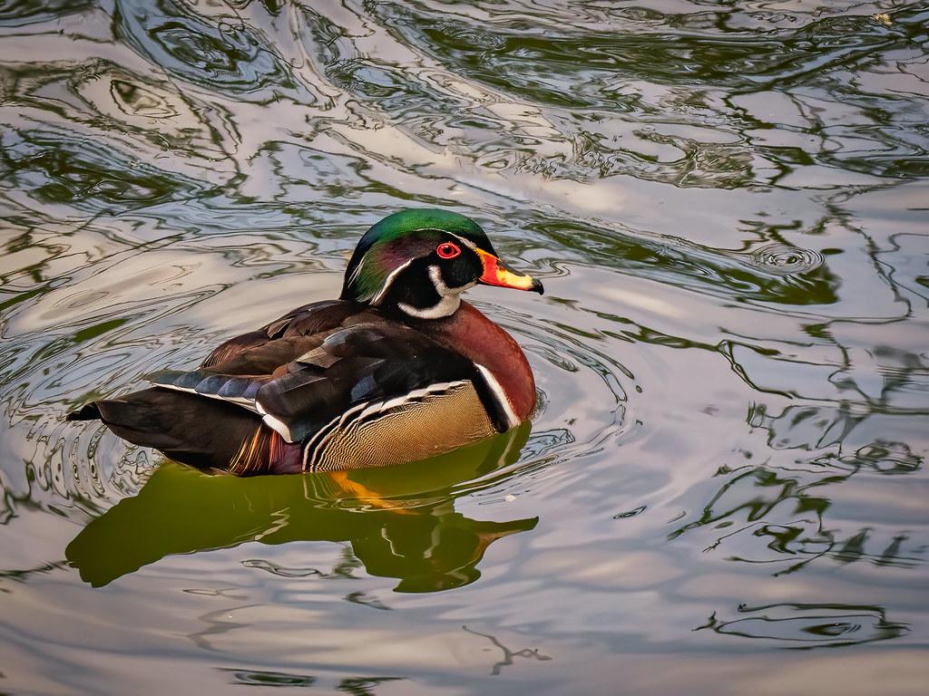 Canard coloré sur l'étang... 51106327085_2e69cf1334_b