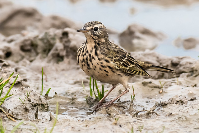 Meadow Pipit March 2021