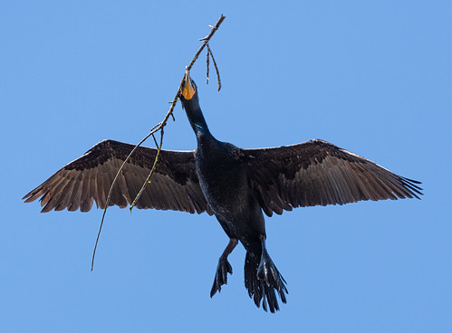 cormorant_with_nest_material-20210408-101