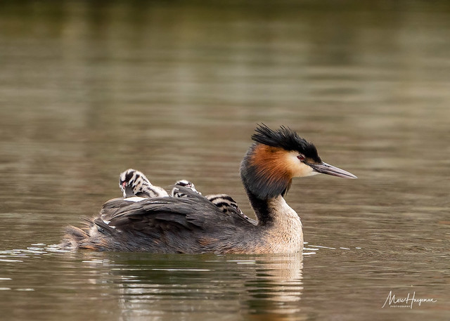 Busy times for the grebe family